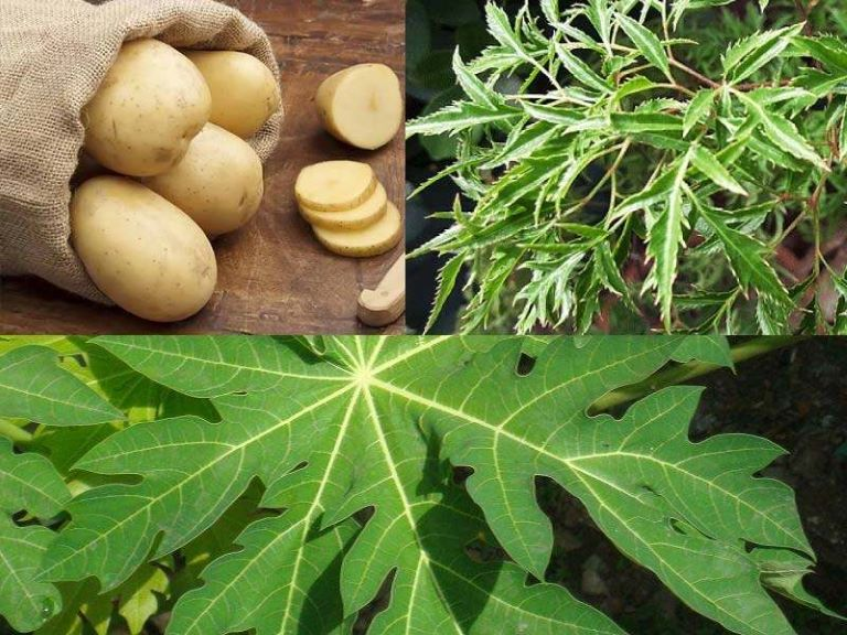 Kết hợp lá đu đủ, đinh lăng và khoai tây